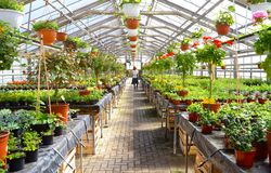 Woman working in a nursery - Greenhouse with colourful flowers Royalty Free Stock Images