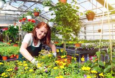 Woman working in a nursery - Greenhouse with colourful flowers. Inside with sunlight from window Royalty Free Stock Photography