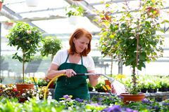 Woman working in a nursery - Greenhouse with colourful flowers. For sale Royalty Free Stock Image