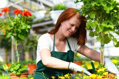 Woman working in a nursery - Greenhouse with colourful flowers. For sale Stock Image