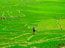 Woman working in a paddy field Royalty Free Stock Images