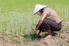 Woman working at rice field Stock Image