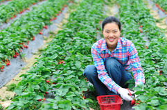 Woman working strawberry field Royalty Free Stock Photo