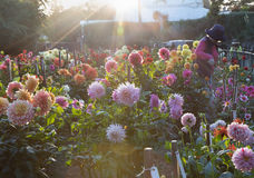 Woman working in sunset dahlia gargen in Golden Gate Park. Back Royalty Free Stock Photos
