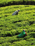 Woman working in tea plantation Royalty Free Stock Photos