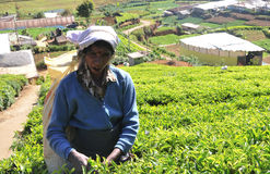 Woman working in tea plantation Royalty Free Stock Photography
