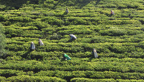 Woman working in tea plantation Stock Image