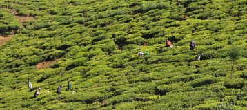 Woman working in tea plantation Royalty Free Stock Photos