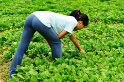 Woman working in vegetable field Royalty Free Stock Image