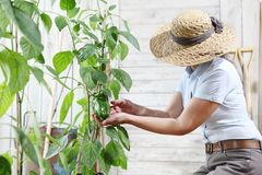 Woman working in vegetable garden, check green sweet peppers growing on plant, care of plants and crop concept stock image