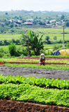 A woman working at the vegetable plantation in Saigon, southern Vietnam Royalty Free Stock Image
