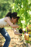 Woman working in vineyard. Young woman cutting grapes in a vineyard Stock Images