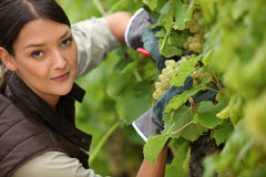 Woman working in a vineyard Stock Photography