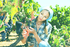 Woman working on winery yard Royalty Free Stock Image