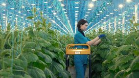 Woman works in a greenhouse, caring for cucumber plants.