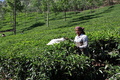The woman works on a plantation of tea in India Stock Images