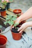 Woman& x27; s handen overplanten succulent in nieuwe pot Tuinierende ou Stock Foto