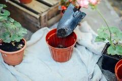 Woman& x27; s handen overplanten succulent in nieuwe pot Tuinierende ou Royalty-vrije Stock Foto