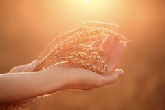 Woman's hands hold wheat ears at sunset. Shallow depth of field. Royalty Free Stock Images