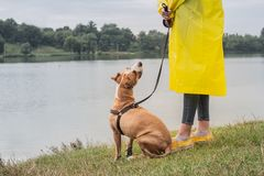 Woman in yellow raincoat and shoes walks the dog in rain at urban park near lake. Young female person and pitbull terrier puppy s. Tand in bad weather near river stock photography