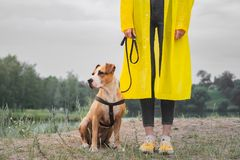 Woman in yellow raincoat and shoes walks the dog in rain at urban park near lake. Young female person and pitbull terrier puppy s. Tand in bad weather near river royalty free stock photography