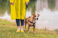 Woman in yellow raincoat and shoes walks the dog in rain at urban park near lake. Young female person and pitbull terrier puppy s. Tand in bad weather near river royalty free stock photos
