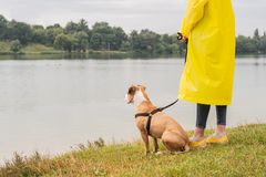 Woman in yellow raincoat and shoes walks the dog in rain at urban park near lake. Young female person and pitbull terrier puppy s. Tand in bad weather near river stock photos