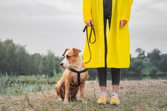 Woman in yellow raincoat and shoes walks the dog in rain at urban park near lake. Young female person and pitbull terrier puppy s. Tand in bad weather near river stock photo