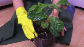 Woman with a yellow rubber glove clean dust from green plant leaves. In room stock video