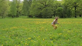 A woman in yellow trousers walking along the dandelion field.  stock video footage