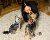 Woman - yorkshire terrier owner is playing on the carpet with he Royalty Free Stock Image