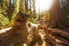 Woman in Yosimite national park near sequoia in California, USA.  stock photo