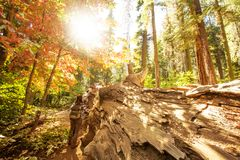 Woman in Yosimite national park near sequoia in California, USA.  royalty free stock photos