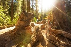 Woman in Yosimite national park near sequoia in California, USA.  stock images