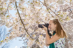 Woman young girl photographer taking shot of cherry tree blossom Royalty Free Stock Images