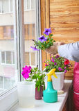 Womanish hands are planting flowers petunia. Stock Photography