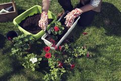 Womans hand in gloves planting pelargonium and ipomoea. Woman`s hand in gloves planting Pelargonium and Ipomoea. Spring time activity. Hobby and leisure royalty free stock photo