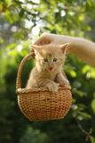 Womans hand holding basket with small kitten Royalty Free Stock Images