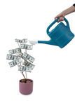 Womans hand pouring water on money plant with watering can Stock Photo