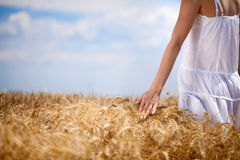 Woman's hand touching wheat Royalty Free Stock Image