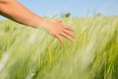 Womans hand touching wheat in field Stock Photos