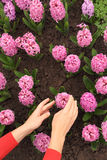 Womans hands touching pink hyacinth on flowerbed Royalty Free Stock Photos
