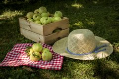 Freshly pickled ripe organic apples in wooden crate on green grass stock photography