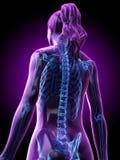 a womans skeletal back vector illustration
