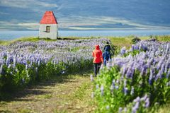Womans tourists walks on a beautiful islandic landscape. Field of wild flowers and little lighthouse on the fjord backgroubd royalty free stock photography