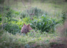 Wombat - κοιλάδα Αυστραλία καγκουρό Στοκ φωτογραφίες με δικαίωμα ελεύθερης χρήσης