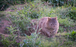 Wombat - κοιλάδα Αυστραλία καγκουρό Στοκ φωτογραφία με δικαίωμα ελεύθερης χρήσης