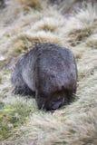 Wombat με το μωρό στη σακούλα στοκ φωτογραφία
