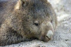 Wombat Royalty-vrije Stock Afbeelding