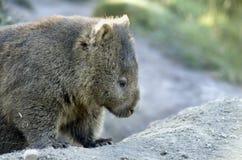 wombat Obraz Stock